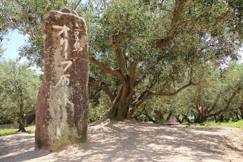 オリーブ 原木