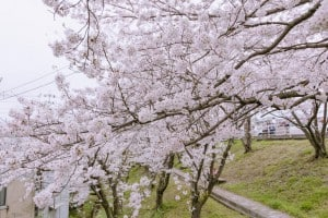 市民センター 桜