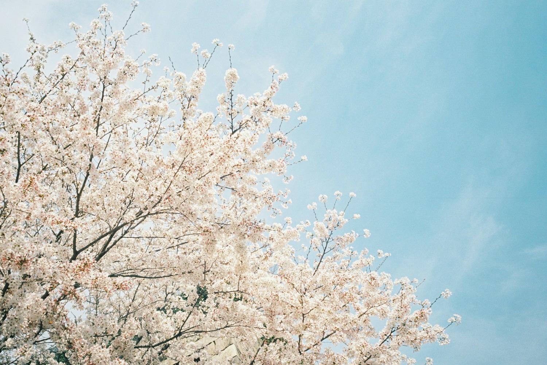 福山城でまったり桜を見たり弁当を食べたりの一日