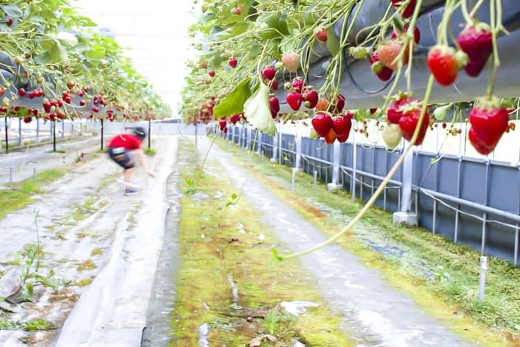 岡山 イチゴ狩り