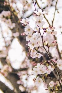 緑町公園 桜