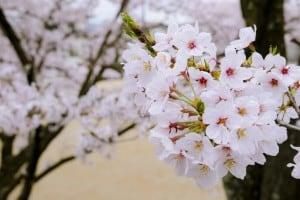 東公園 桜