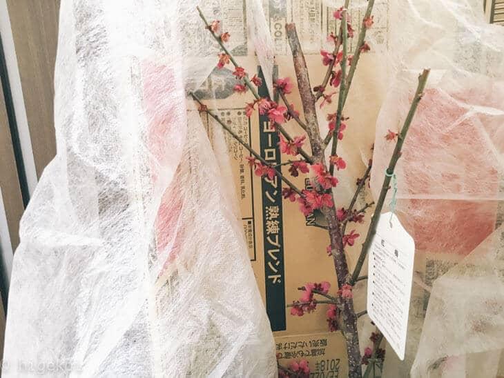 金井園芸所 梅の木