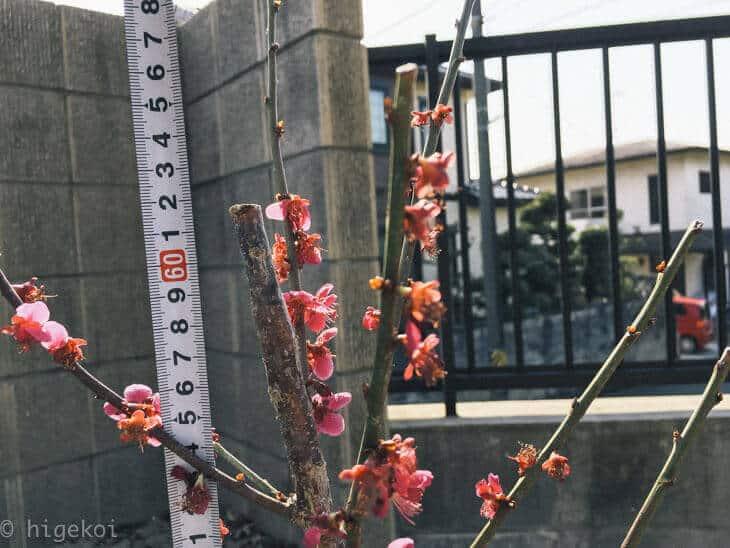 梅の木 庭植え替え