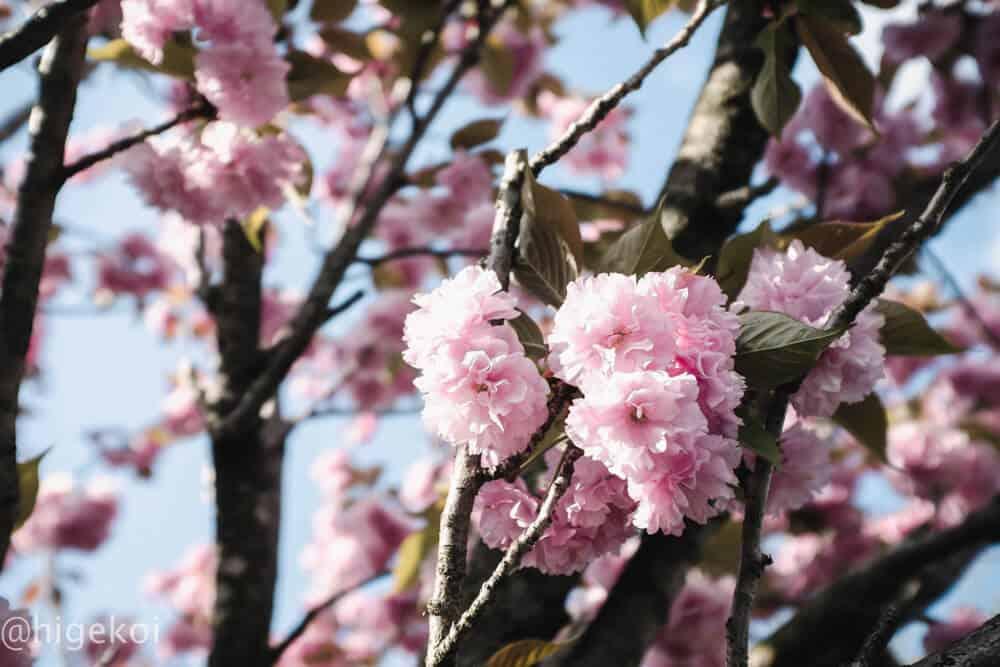 桜2018