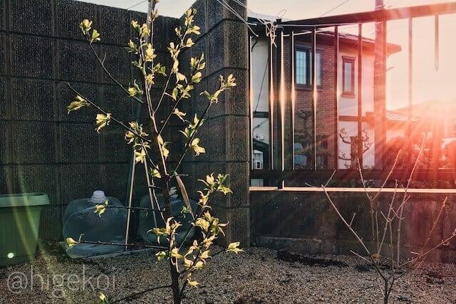 梅の木 水やり