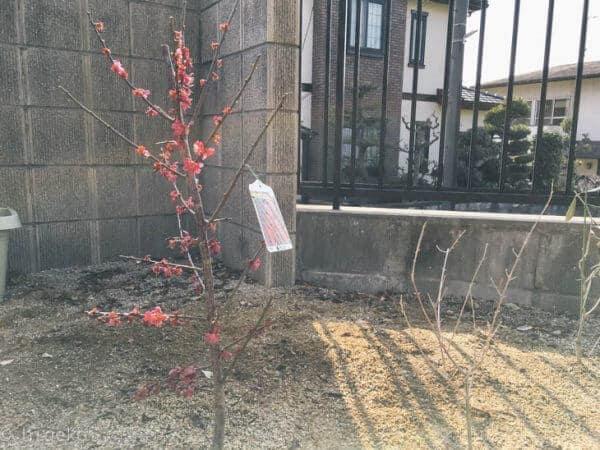 梅の木 庭植え