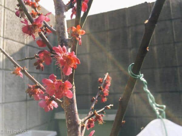 梅の木 購入