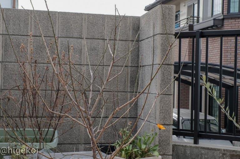 梅の木 花芽
