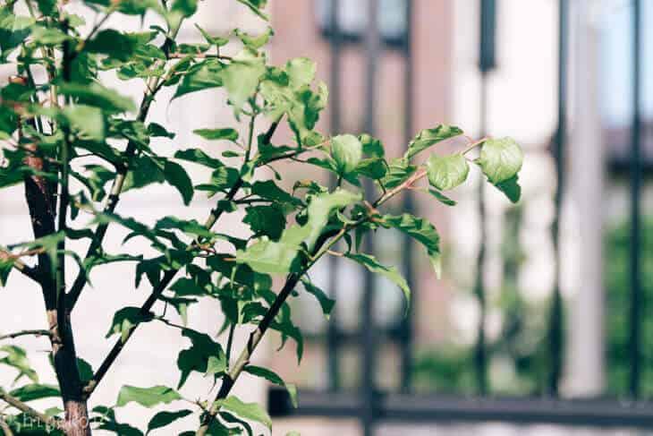 梅の木 アブラムシ 農薬