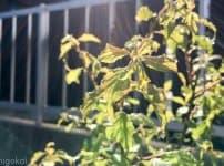 梅の木 アブラムシ
